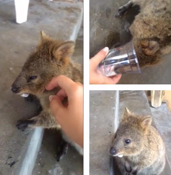 finns det kängurur i sverige