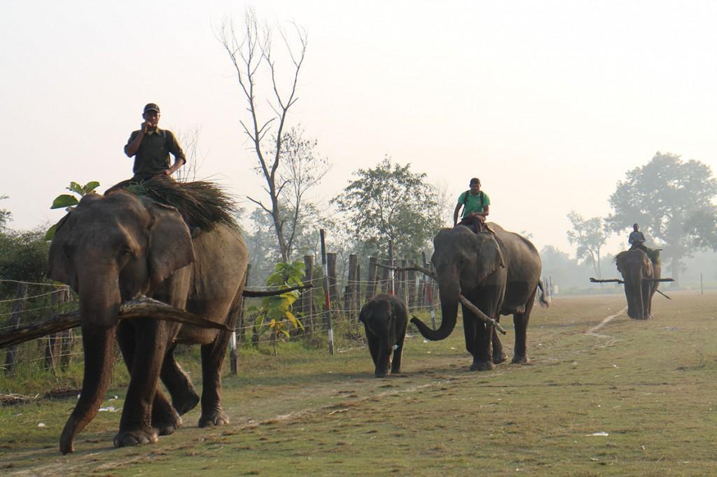 """Elefanter på väg tillbaka till """"Elephant Breeding Centre"""" efter en dag i nationalparken. Foto: Josefine Nilsson"""