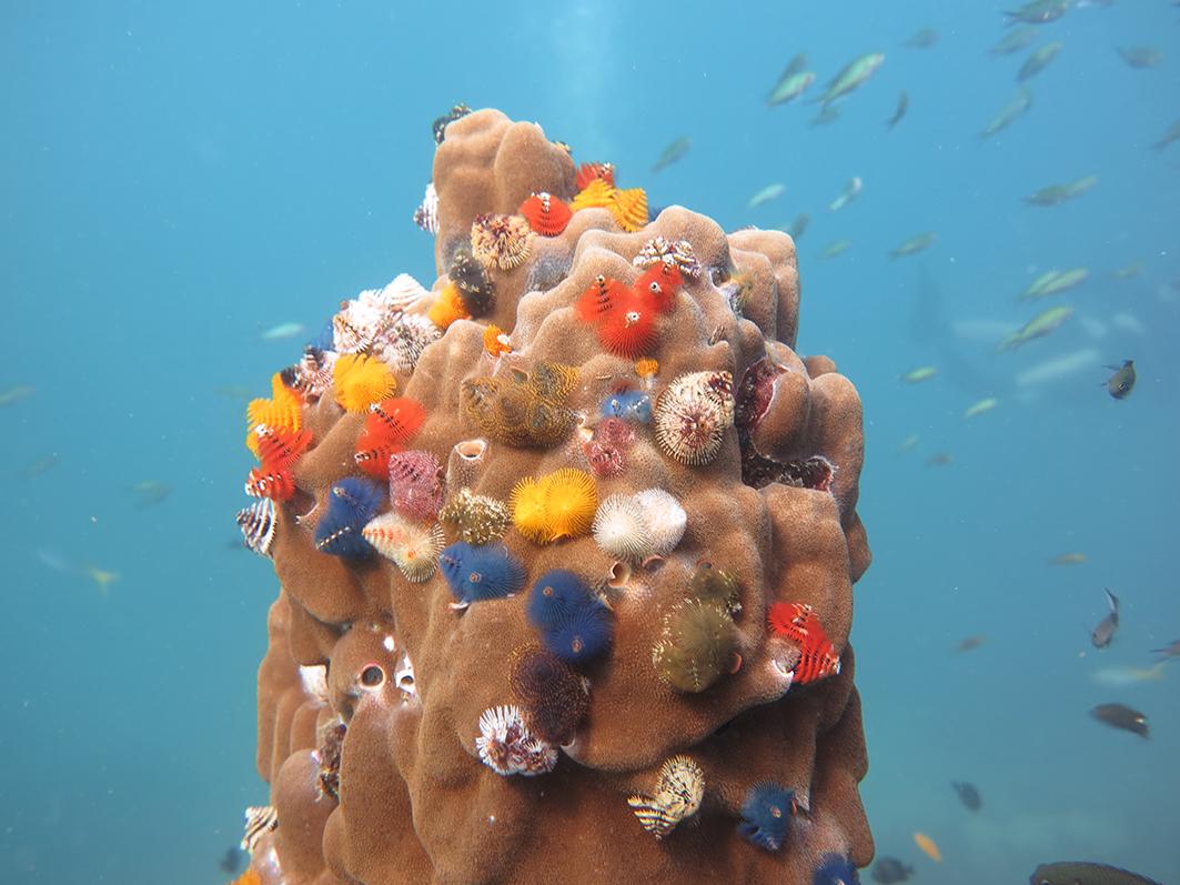 "De hät färgglada koralldjuren kallas för ""Christmas tree worms"". Foto: Tobias Lundell"