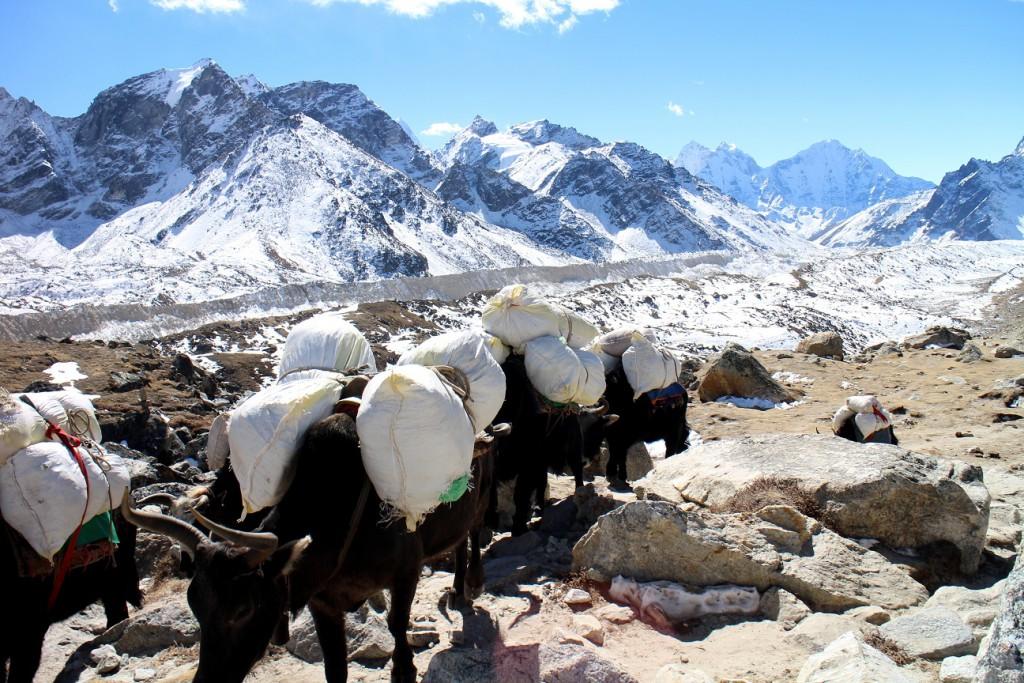 Jakar i Nepal