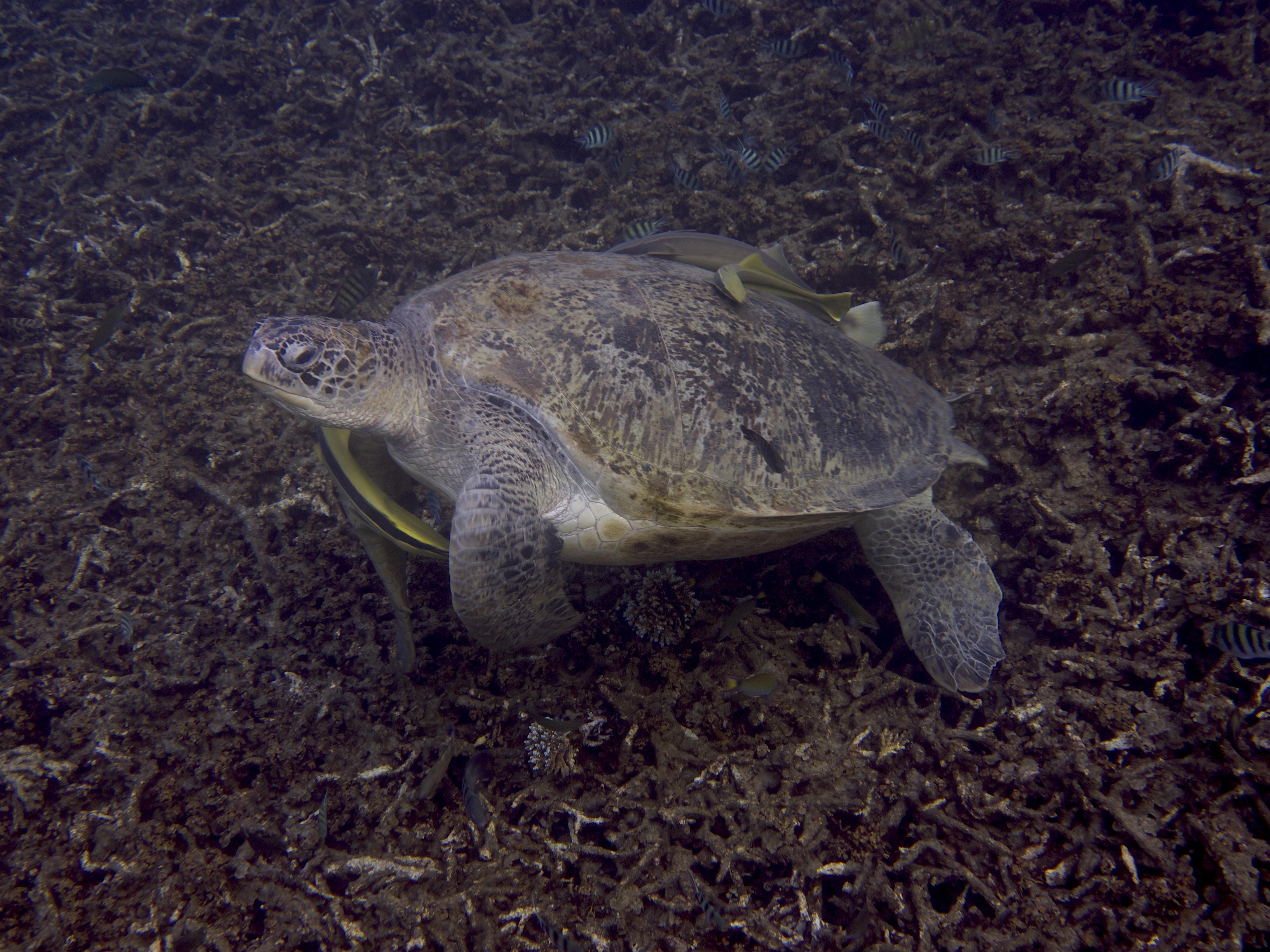 sköldpadda turtle