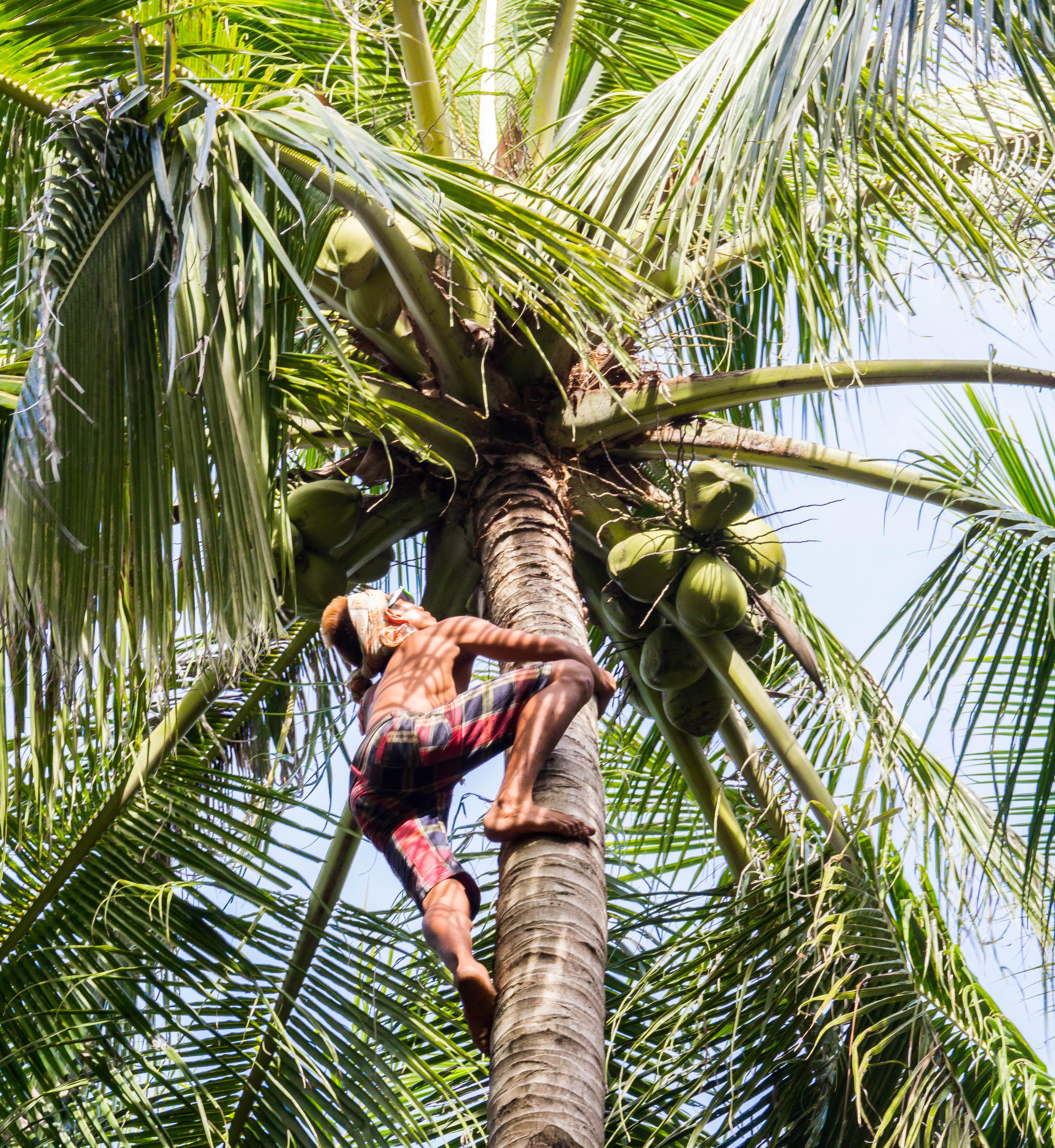 Smidigt klättrar en filippinsk kille upp och skär ner kokosnötter. Foto: Patrik Enlund