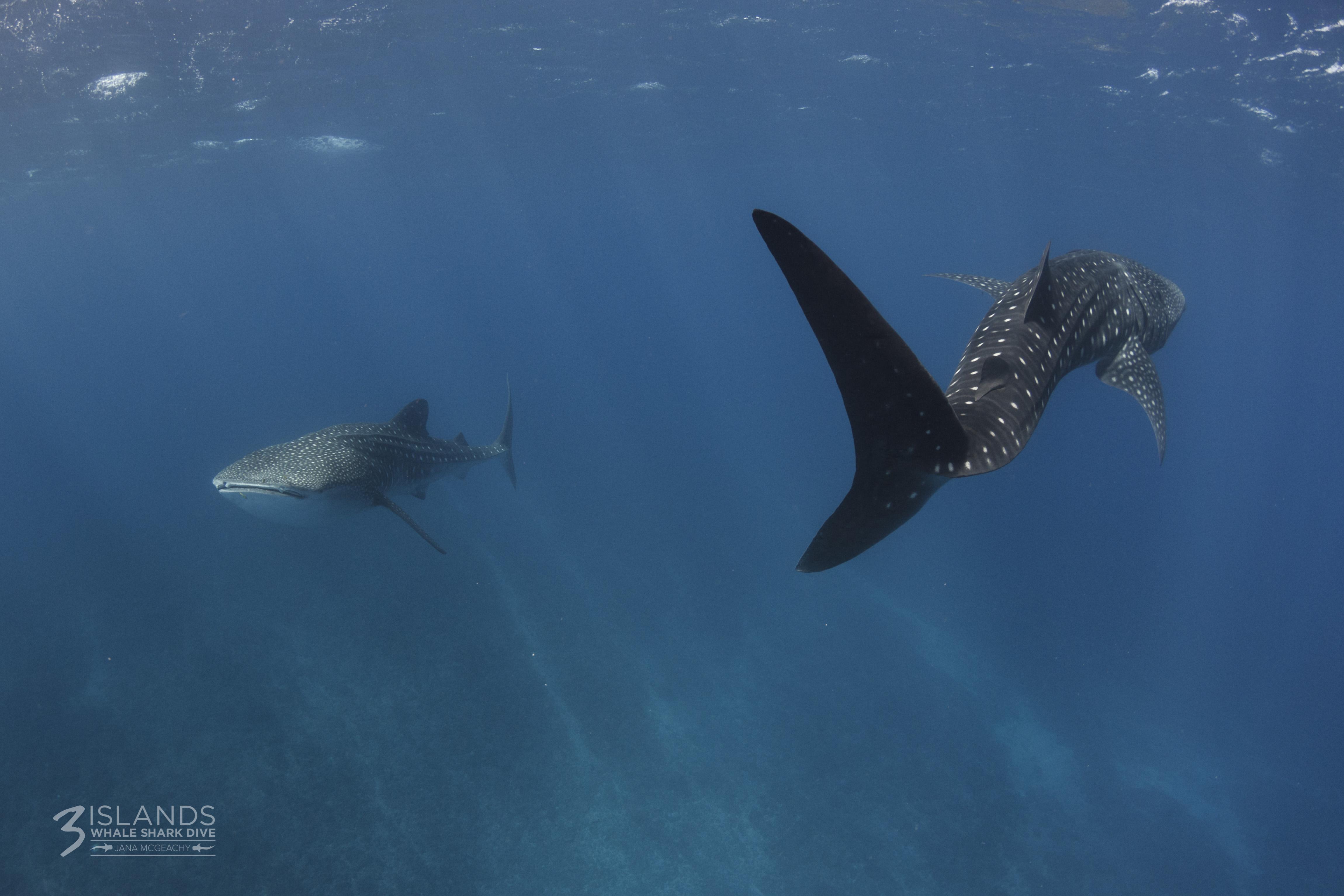 Whale Shark Exmouth Western Australia