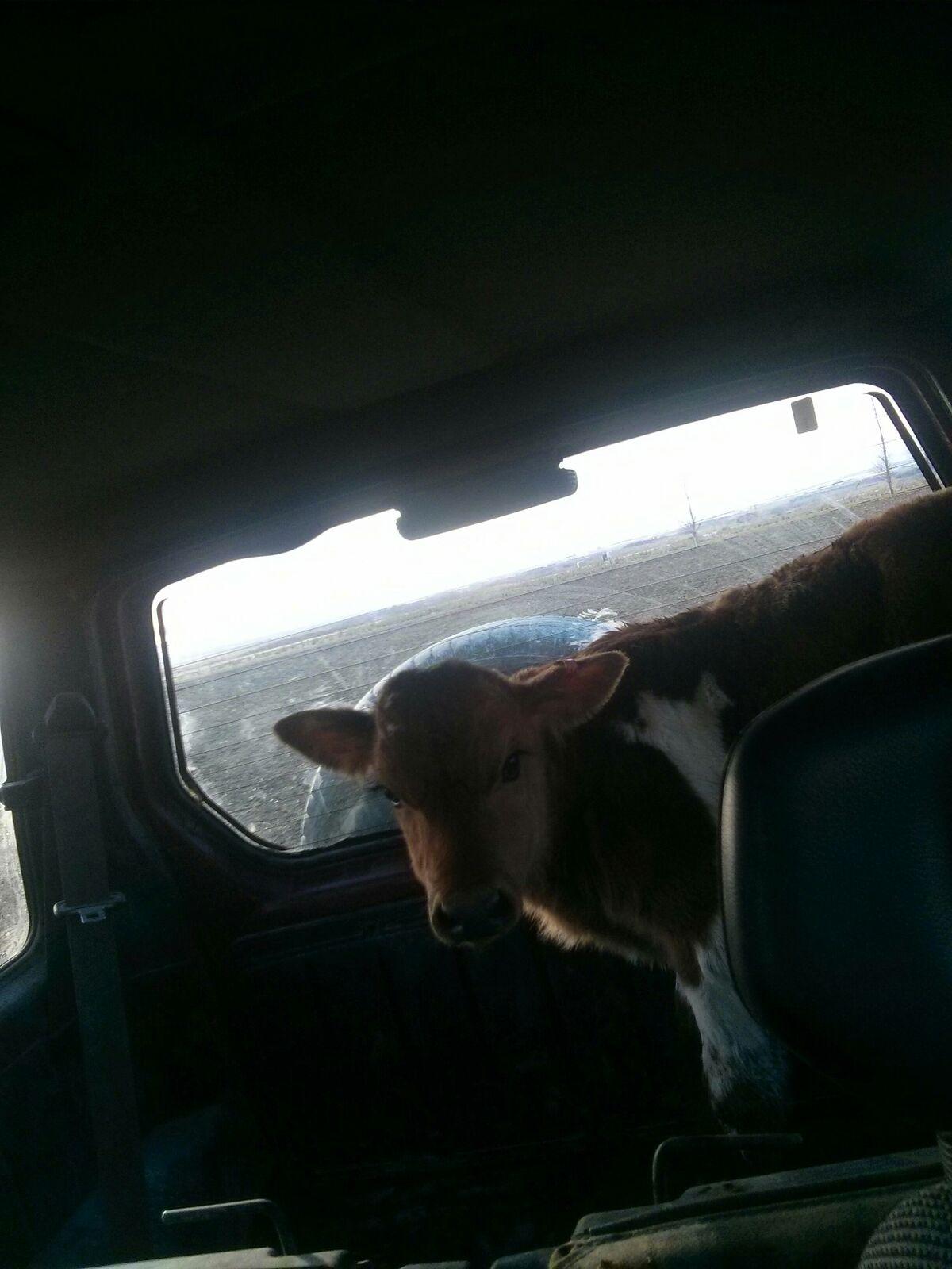 kalv i bil