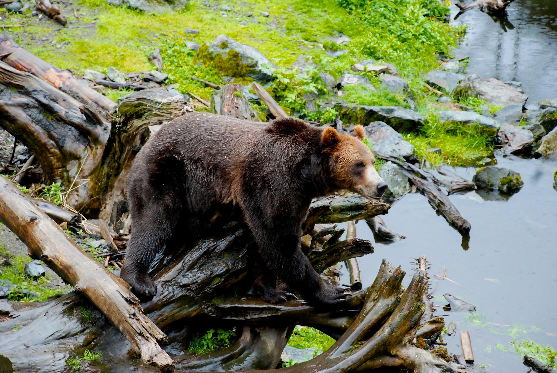bear-1898599_1920