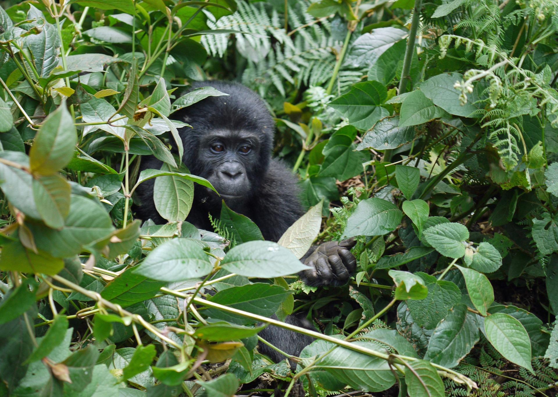 gorilla-1386501_1920