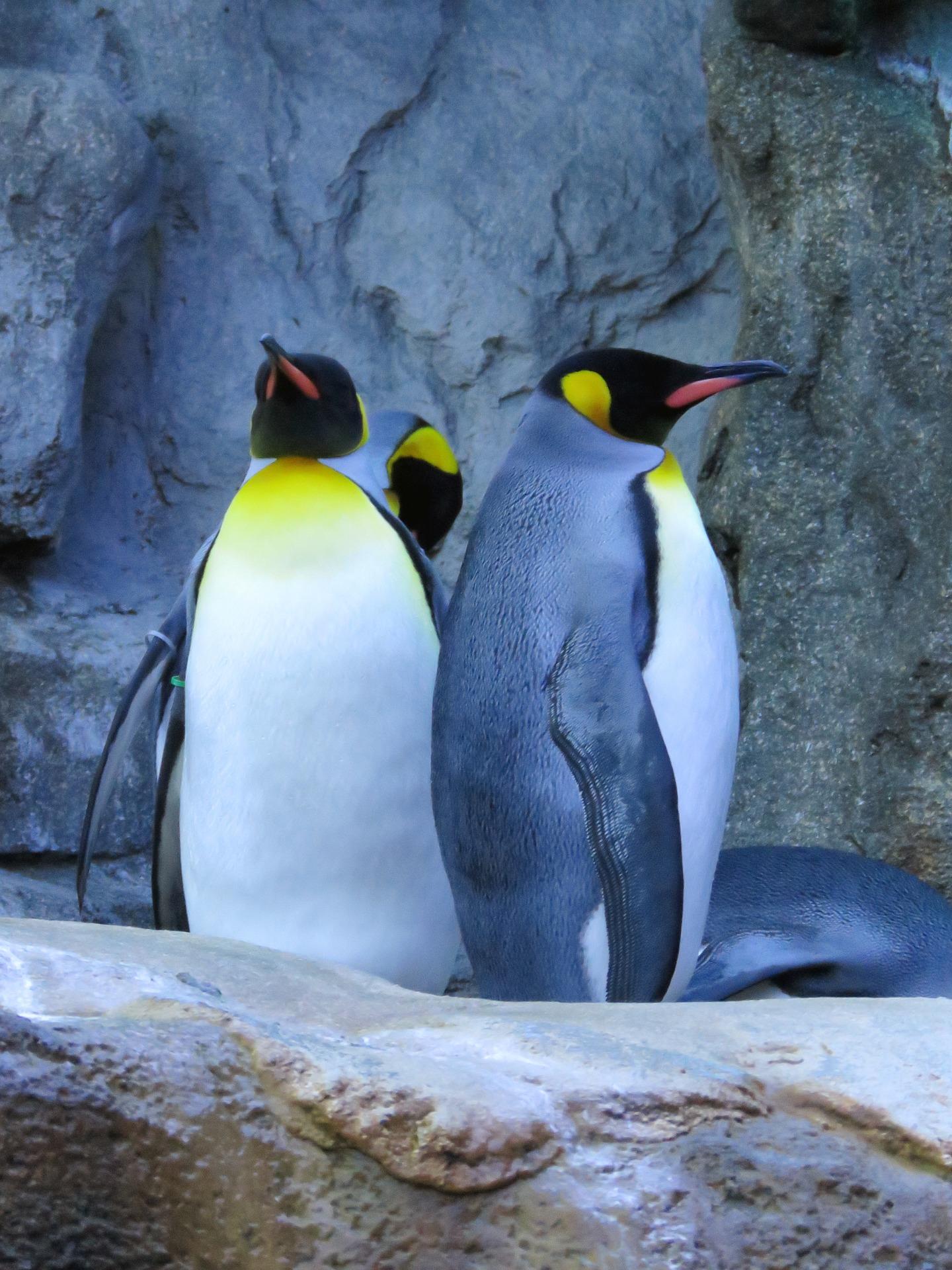 king-penguins-1502920_1920