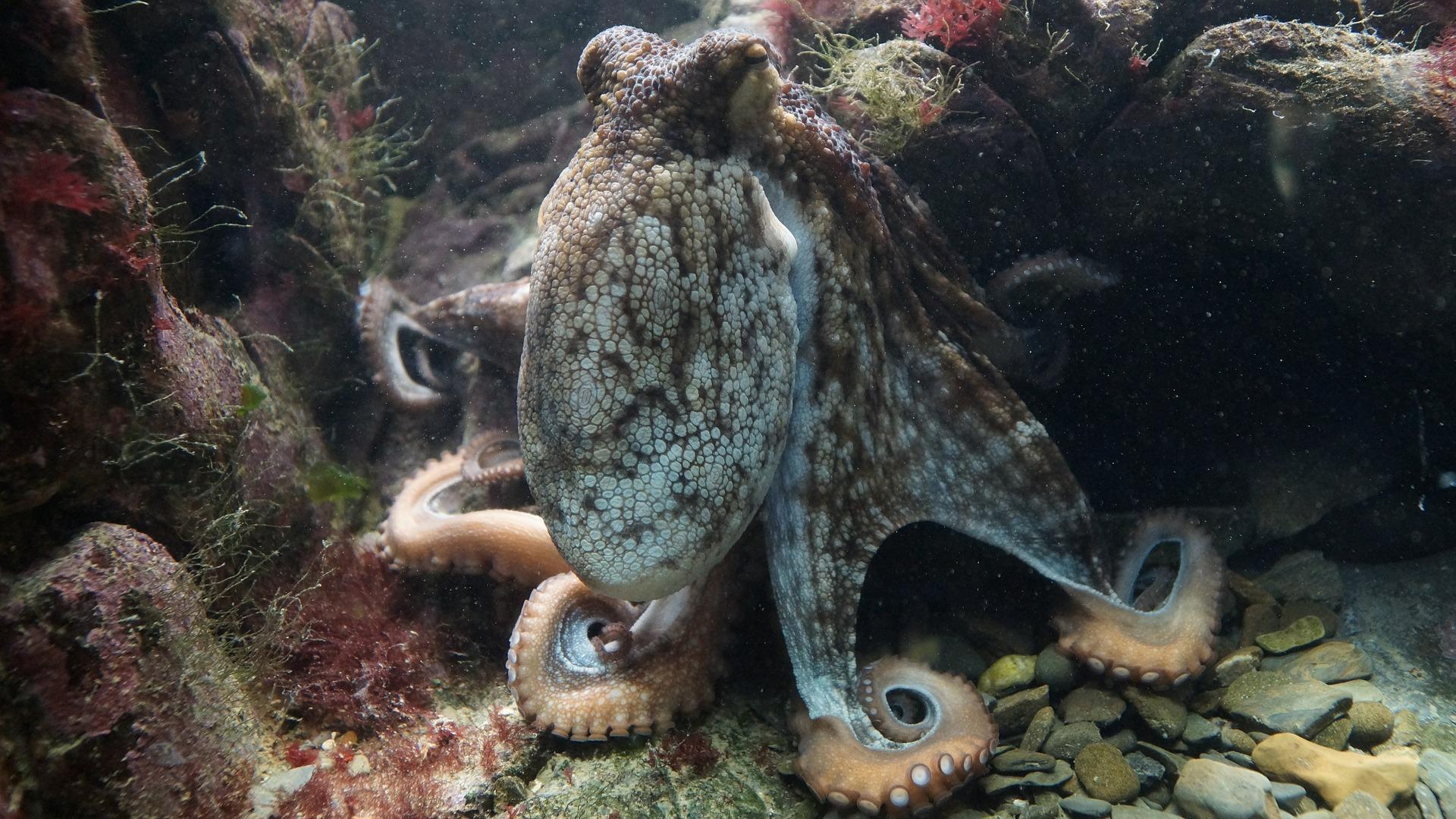 octopus-428745_1920