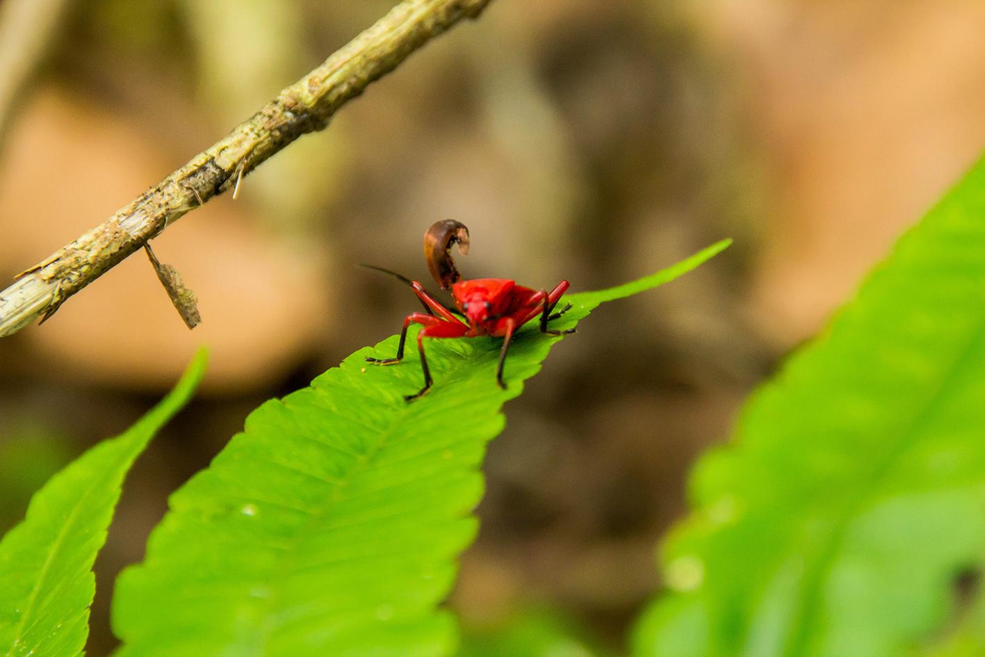 Röd bomullsbagge (Dysdercus cingulatus). Foto: Patrik Enlund