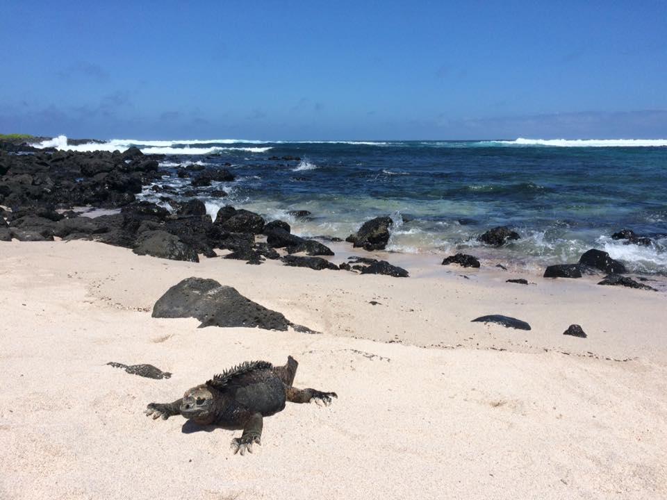 Den välkända havsleguanen på Galapagosöarna. Foto: Privat