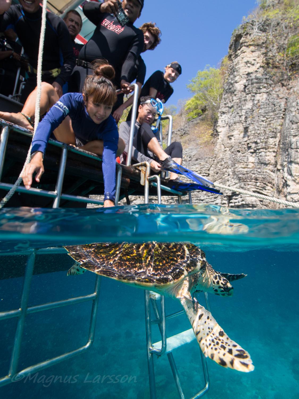 Wiiieee! Äntligen! Sköldpaddan kan nu simma fritt i havet igen.