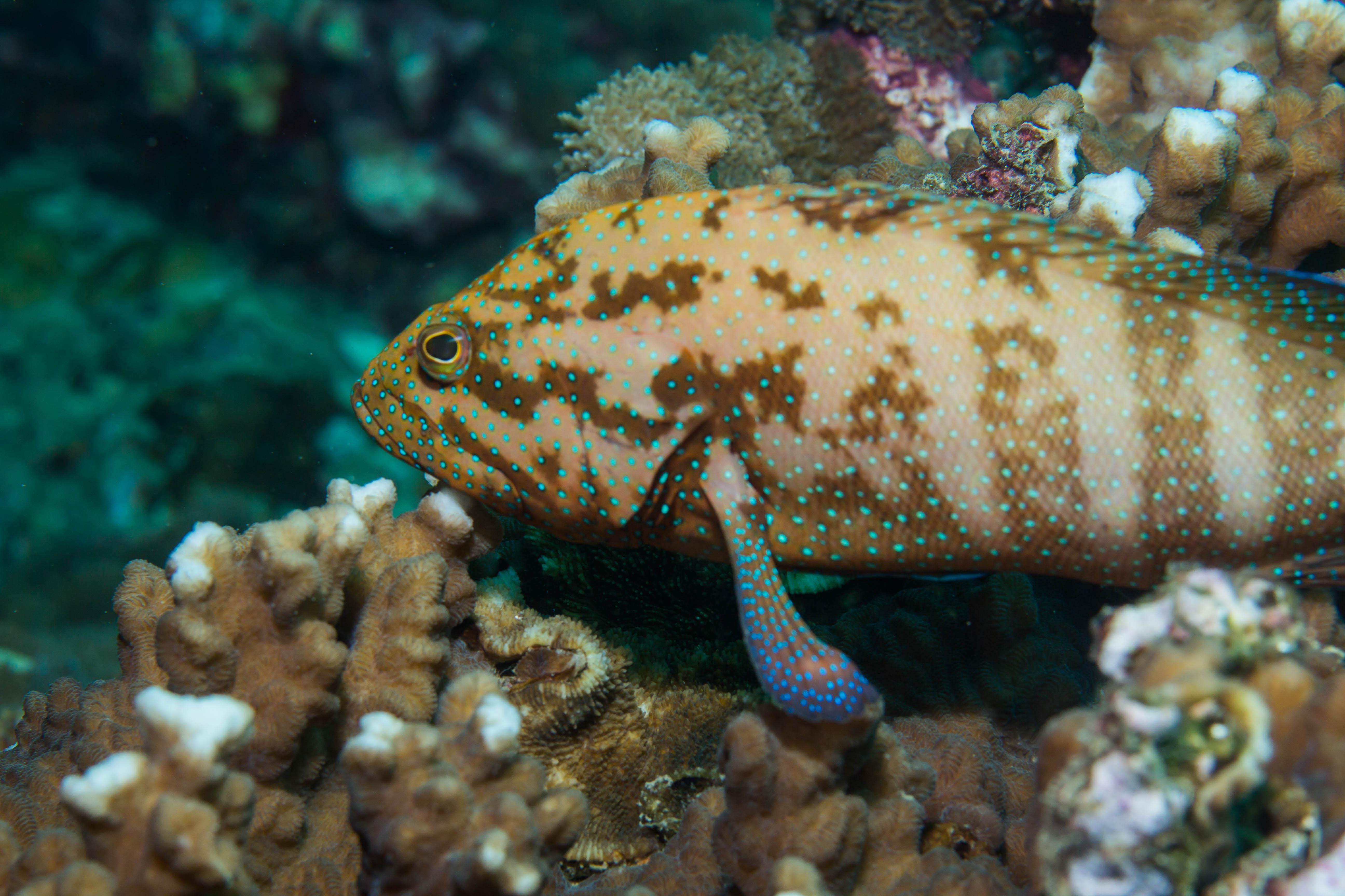 """Det här är en så kallad """"Coral Grouper"""". Foto: Patrik Enlund"""
