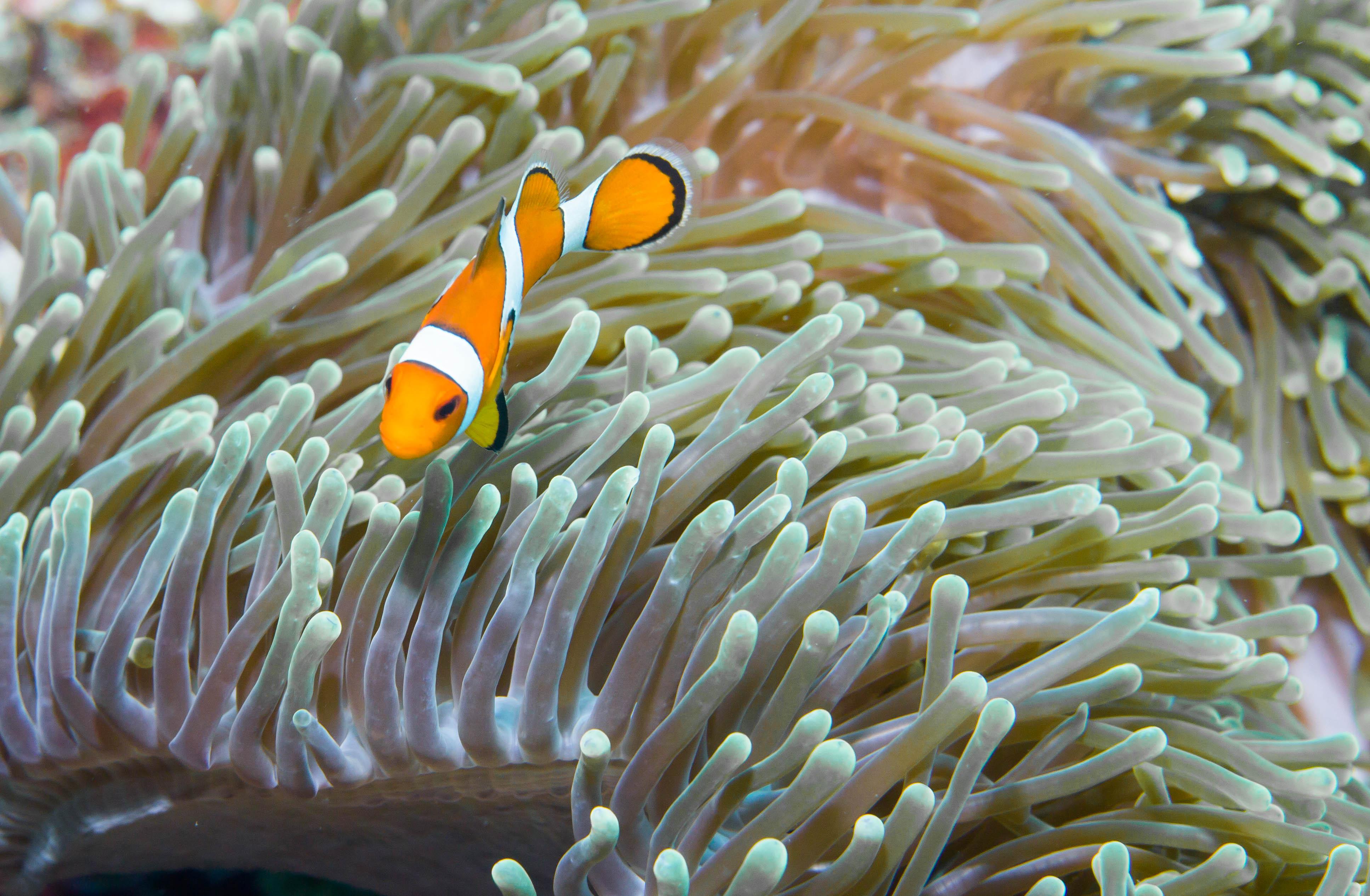 """""""False clown anemone fish"""" är ett av namnet på denna lilla söting. Mer känd som """"Nemo"""". Foto: Patrik Enlund"""
