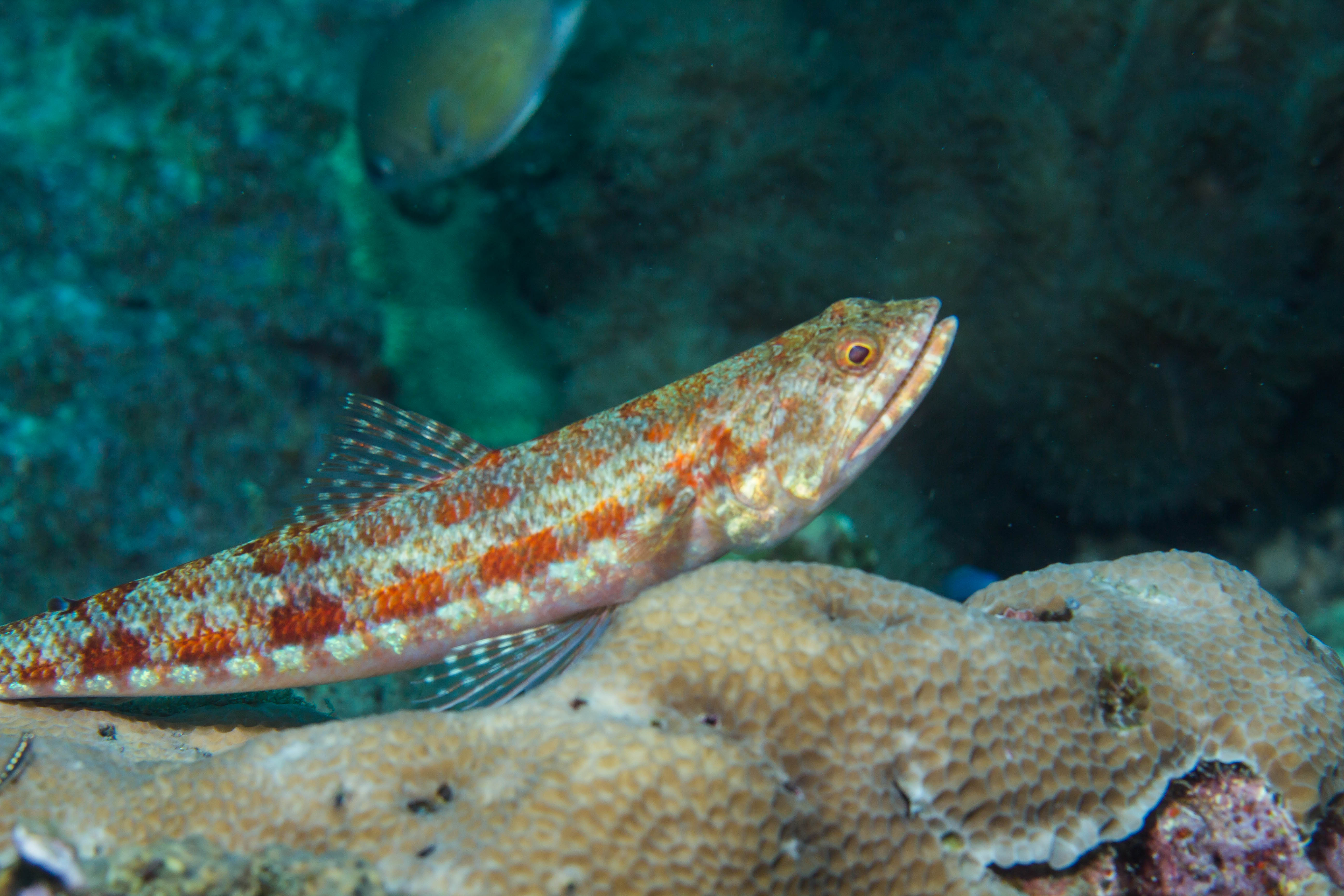 "En så kallad ""Lizard fish"". Foto: Patrik Enlund"