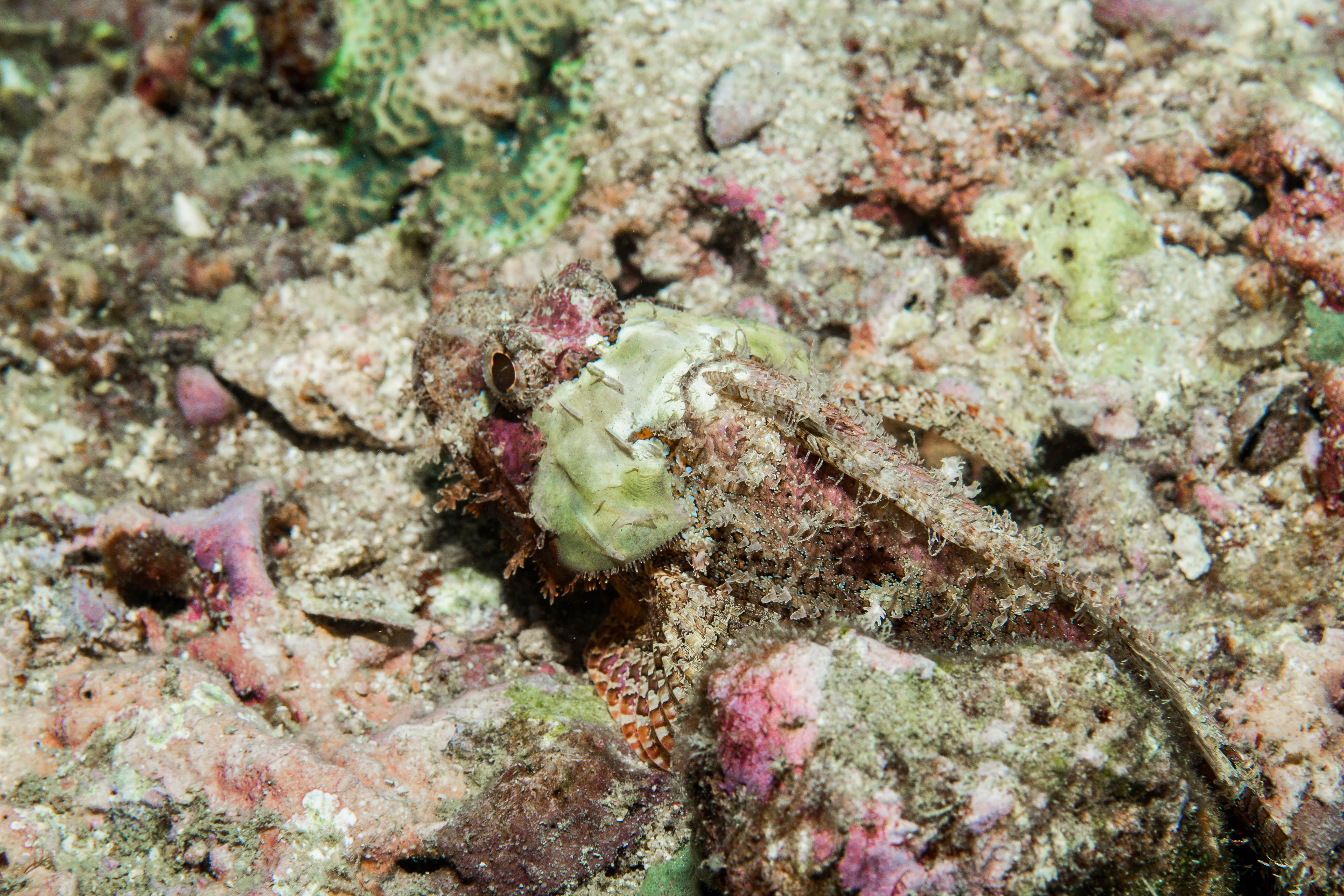 Ser ni den här då? Också en skorpionfisk som ni sett på två bilder ovan redan. Foto: Patrik Enlund