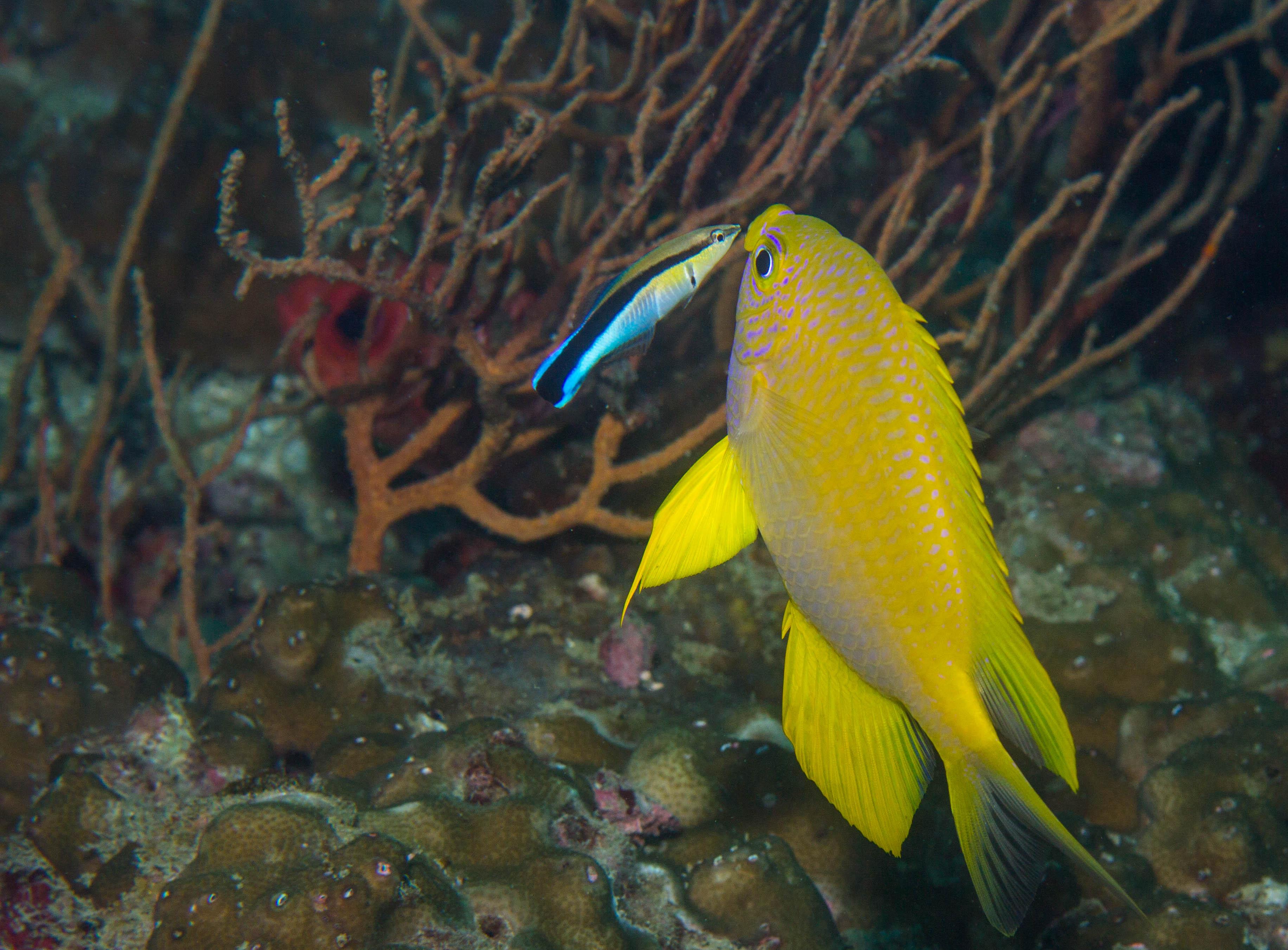 """När vi ändå pratar om arter som har som sin livsuppgift att tvätta andra – låt mig presentera """"Bluestreak cleaner Wrasse"""". En liten fisk som tvättar andra fiskar, stora som små. De simmar in i gälarna på muränor ibland och som här tvättar rent runt munnen på en så kallad """"Golden Damsel fish"""". Foto: Patrik Enlund"""