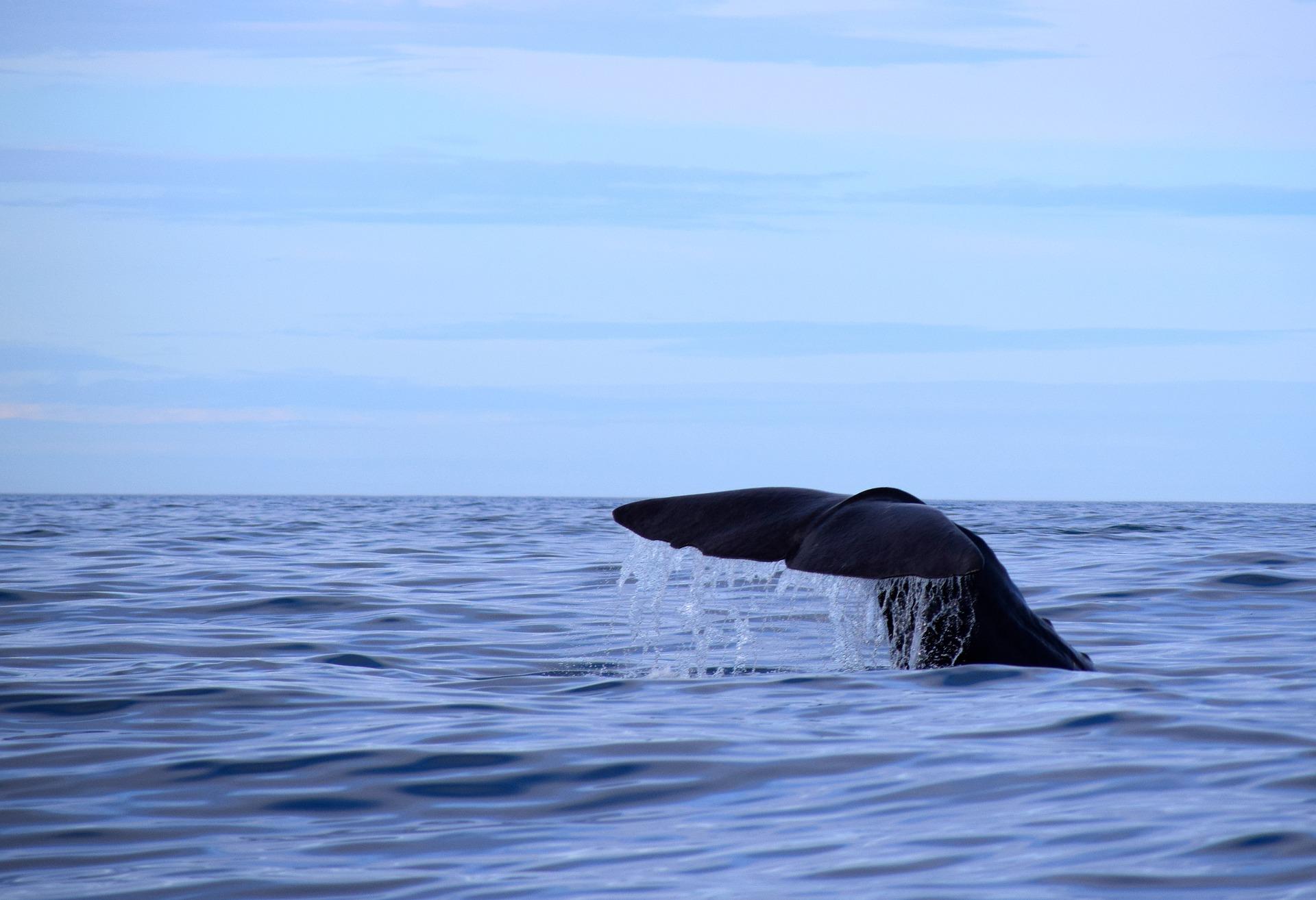 sperm-whale-2742574_1920